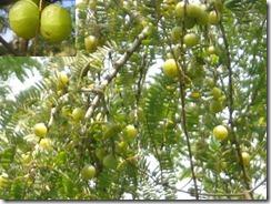 Phyllanthus Emblica L Aml Indian Gooseberry Kemloko