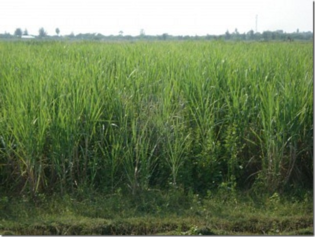 sugar cane plantation