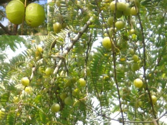 phyllanthus-emblica-l-aml-indian-gooseberry-kemloko
